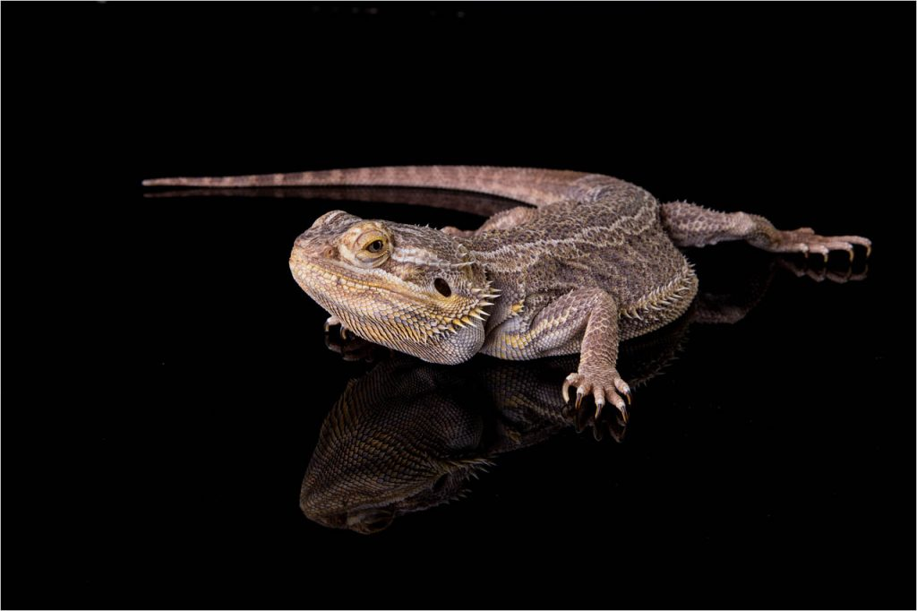 Jo Howell Pet Photography Reptiles114