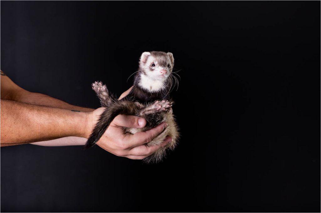 Jo Howell Pet Photography ferrets110