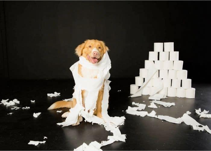 Indoor Puppy Portraits Melbourne, pet portraits