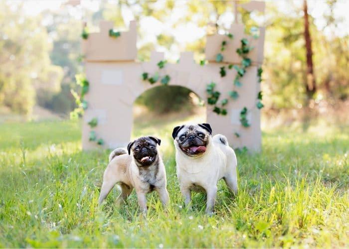 Pet Photography Small Dog Melbourne, pet portraits