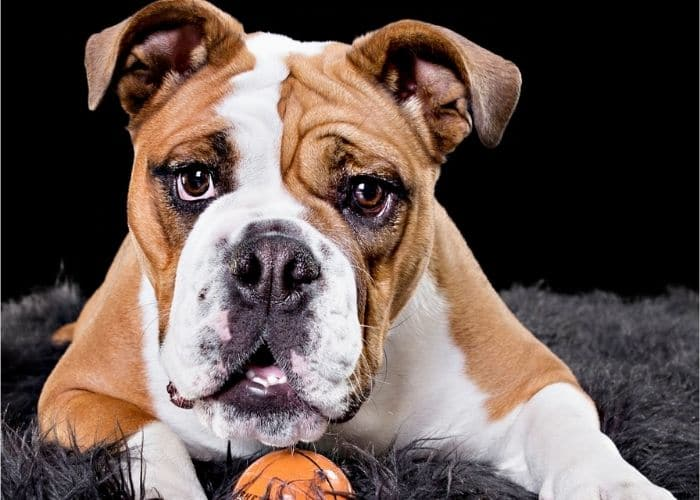 Professional Indoor Pet Photos Melbourne, dog portraits